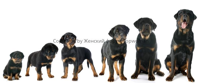 Этапы роста собаки