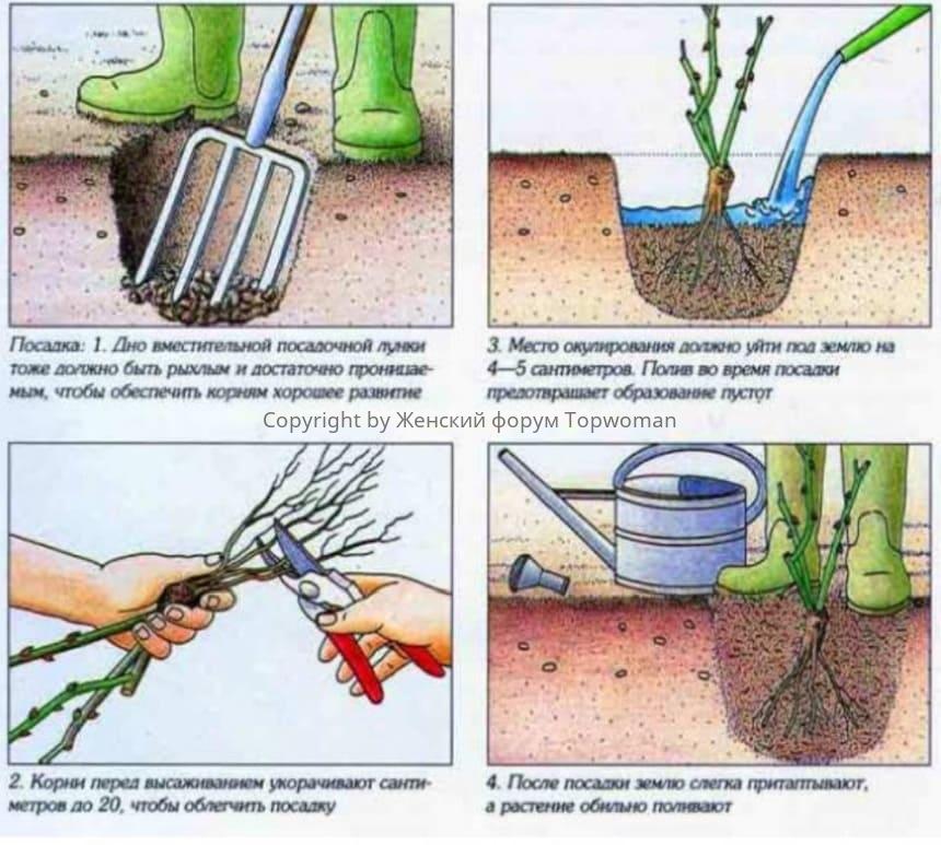 Как посадить розы на даче