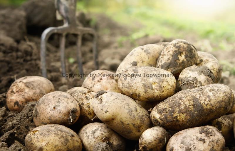 Картошка с огорода