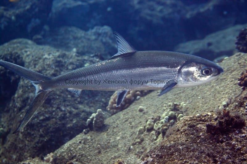 Молочная рыба — ханос