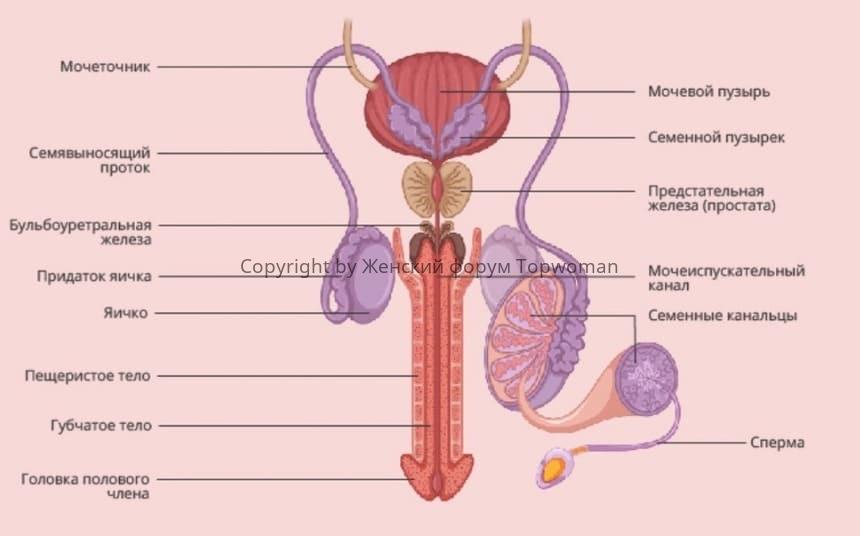 Репродуктивная мужская система
