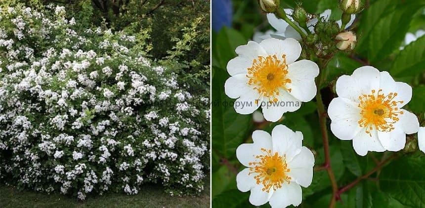 Многоцветковая роза мультифлора