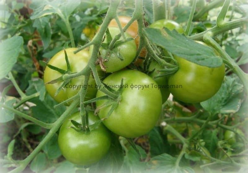 Зелёные помидоры на ветке